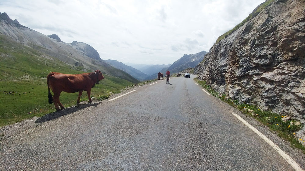 Galibier Cow